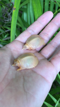 Albino Chinese Softshell For sale