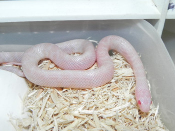Blizzard Kingsnakes for sale