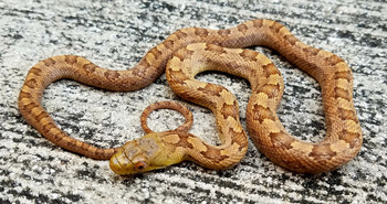 Everglades Ratsnake for sale