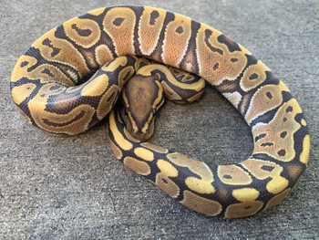 Orange Ghost Ball Python for sale