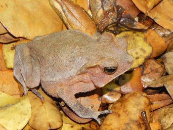Typhonius Frog for sale