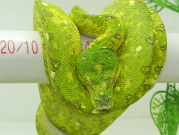 Green Tree Python for Sale