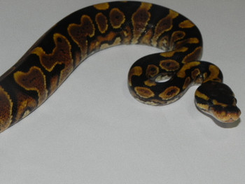 Yellow Belly Ball Pythons for sale
