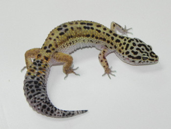 Adult Leopard Geckos for sale