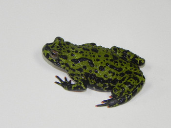 Green Fire Belly Toads for sale