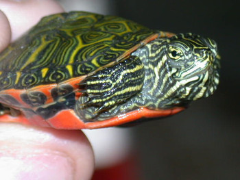 Northern Red Belly Cooter for sale
