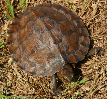 Asian Leaf Turtle for sale