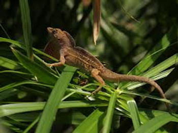 Brown Anoles for sale