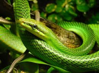 Red Tail Green Ratsnake for sale
