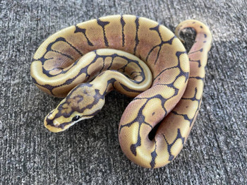 Honey Bee Ball Pythons for sale  (Python regius)