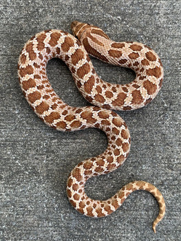 Western Hognose Snake for sale | Snakes at Sunset