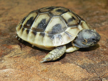 Hermanns Tortoises for sale