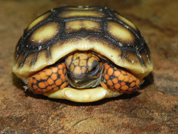 Red Foot Tortoises for sale