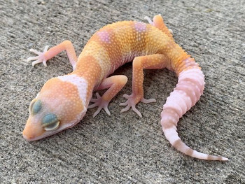Albino  Leopard Gecko for sale at Snakes at Sunset