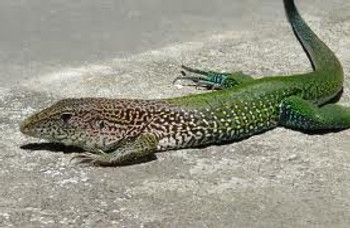 Green Ameiva for sale (Ameiva ameiva)
