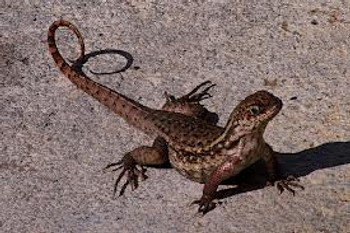 Bahamian Curly Tail Lizard for sale