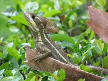 Brown Basilisks for sale (Basiliscus vittatus)
