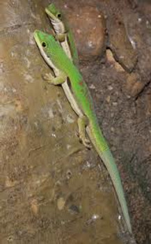 Lined Day Gecko for sale