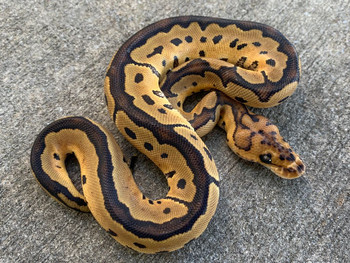 Clown Ball Pythons for sale