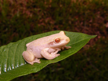 Albino Cuban Tree Frogs for sale