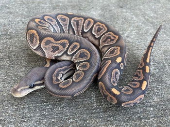 Cinnamon Ghost Ball Pythons for sale