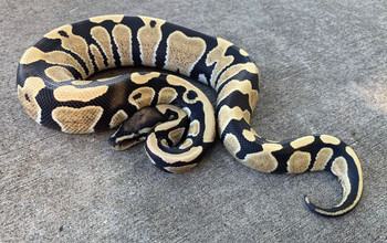 Desert Ghost Ball Python for sale