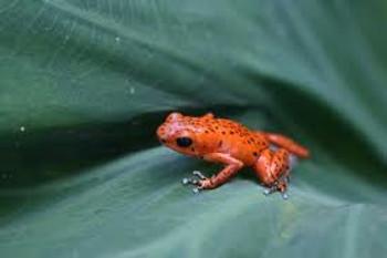 Bastimento Strawberry Dart Frog
