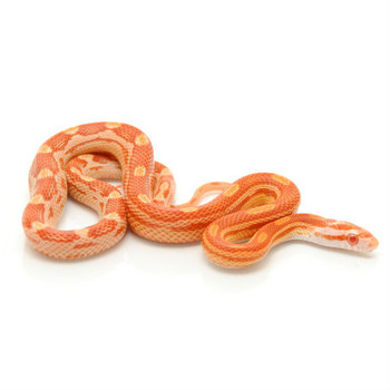 Albino Motley Corn Snake for sale | Snakes at Sunset