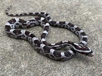 Anerythristic (Black) Corn Snake for sale | Snakes at Sunset