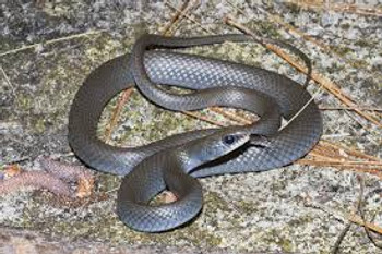 Black Racer for sale