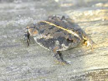 Oak Toad for sale