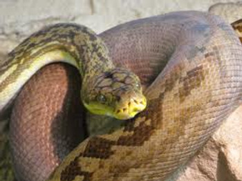 Timor Python for sale