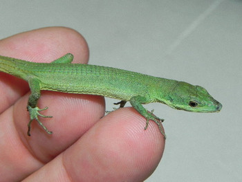 Japanese Long Tail Lizard for sale
