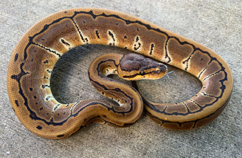Pinstripe Ball Pythons for sale