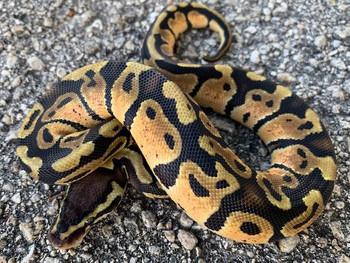 Pastel Ball Pythons for sale (Python regius)