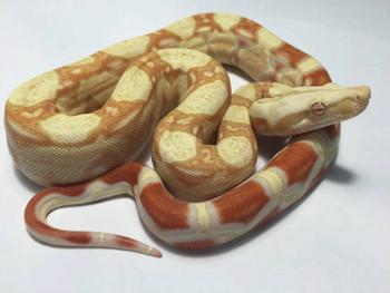 Albino Boa Constrictors for sale