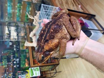 Giant Suriname Marine Toad for sale (Rhinella marina)