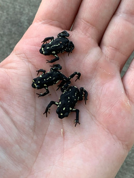 Bumble Bee Toads for sale