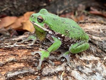 Barking Tree Frogs for sale (Hyla gratiosa)