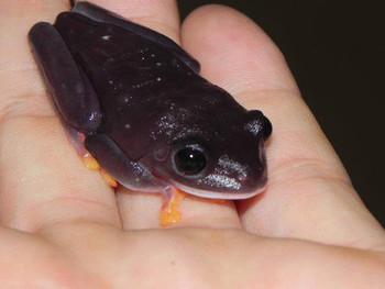 Purple Red Eye Tree Frogs for sale