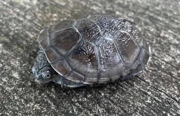 African Sideneck Turtle for sale (Pelomedusidae)