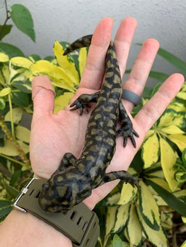 Tiger Salamander for sale (Ambystoma tigrinus)