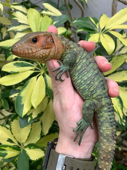 Baby Caiman Lizards for sale