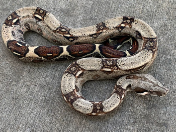 Colombian Boa Constrictor for sale