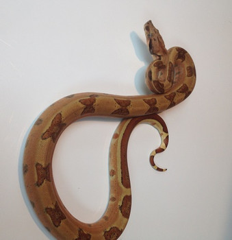 Abby Hypo het albino - lipstick line - males and females - for sale