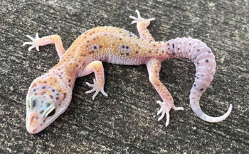 Enigma Leopard Geckos for sale(Eublepharis macularius)