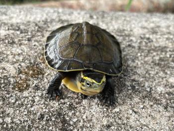 CBB Asian Box Turtles for sale(Cuora amboinensis)