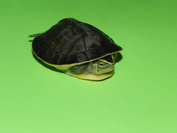 Asian Box Turtles for sale