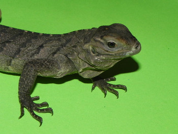 Cuban Iguanas for sale