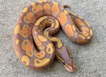 Coral Glow Ball Pythons for sale